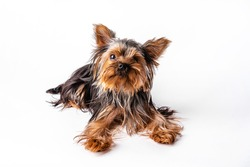 Yorkshire Terrier puppy sits. Isolated on white background