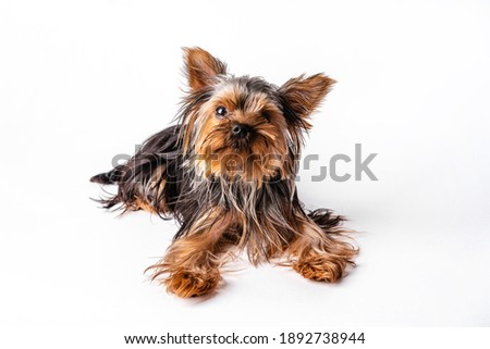 Yorkshire Terrier puppy sits. Isolated on white background Stock fotó ©