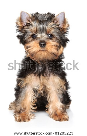 Yorkshire terrier puppy sits on a white background