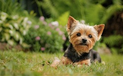 Yorkshire Terrier puppy sitting on the park grass