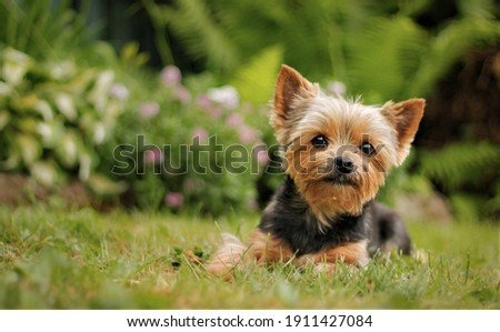 Yorkshire Terrier puppy sitting on the park grass Stock fotó ©