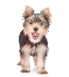 Yorkshire Terrier puppy standing in front view. isolated on white background