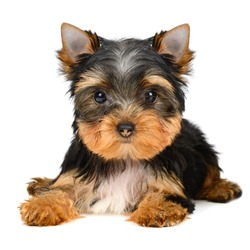 yorkshire terrier puppy the age of 3 month isolated on white