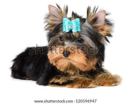 yorkshire terrier puppy the age of 4 month isolated on white
