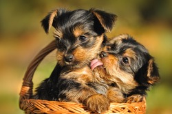 Yorkshire terrier puppy 7 weeks plays in the garden