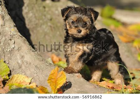 Yorkshire terrier puppy 7 weeks plays in the garden Stock foto ©