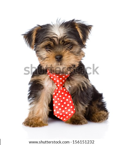 Yorkshire Terrier puppy with tie sitting in front. isolated on white background