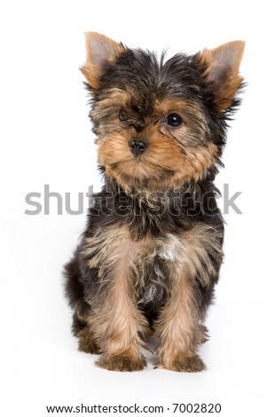 Yorkshire Terrier Puppy Yorkie Ez Canvas