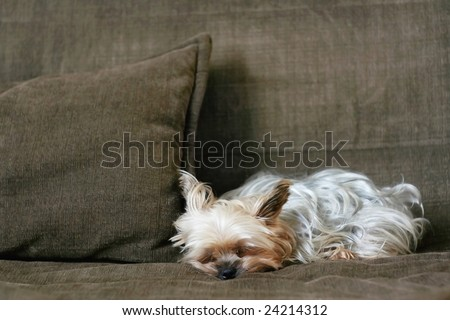Yorkshire terrier resting on a couch - stock photo