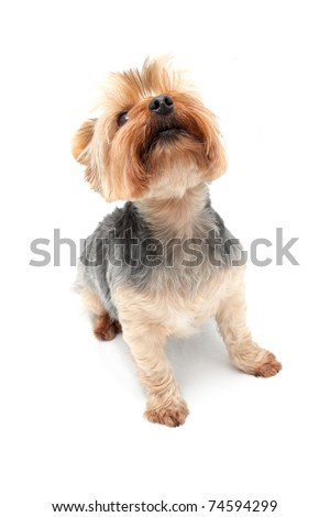 Yorkshire Terrier sitting and looking up