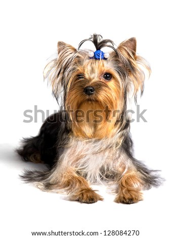 yorkshire terrier sitting on the white background, isolated