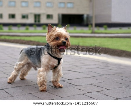 yorkshire terrier stands on the city sidewalk. #1431216689