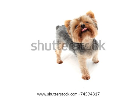 Yorkshire Terrier sticking out tongue