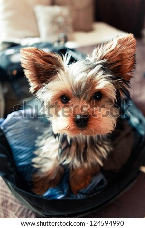 Yorkshire Terrier Travel