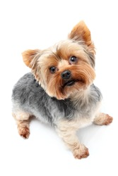 Yorkshire Terrier waiting eagerly with upright ears