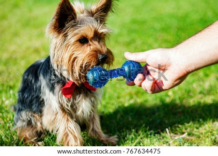 Yorkshire terrier waiting for a toy bone. Owner's hand giving dog a toy. #767634475