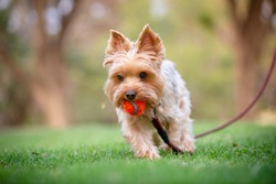 Yorkshire Terrier Walking on Grass Field with an Orange Ball