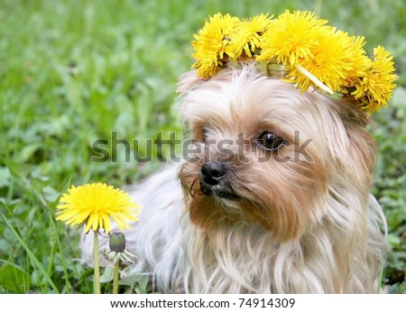 yorkshire terrier with a dandelion wreath