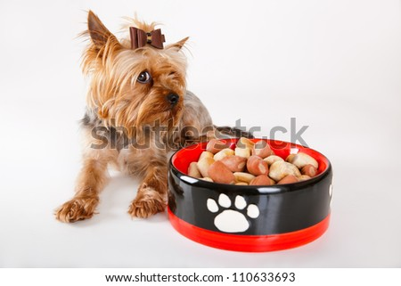 Yorkshire terrier with a forage bowl on a white background