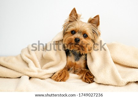 Yorkshire terrier with blanket, Dog resting,Cute dog, Funny Yorkie Stock fotó ©