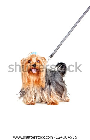 Yorkshire Terrier with collar on a leash