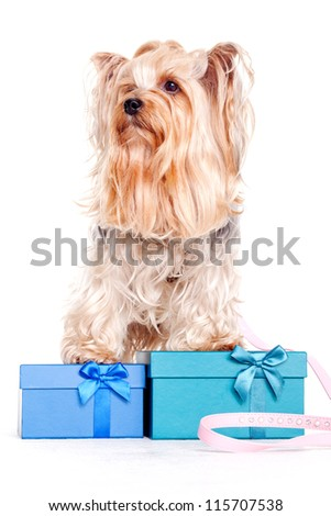 yorkshire terrier with gift boxes on christmas