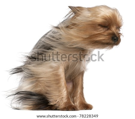 Yorkshire Terrier with hair in the wind, 1 year old, sitting in front of white background
