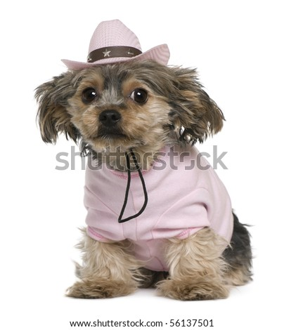Yorkshire terrier, 2 years old, dressed and wearing a pink cowboy hat sitting in front of white background