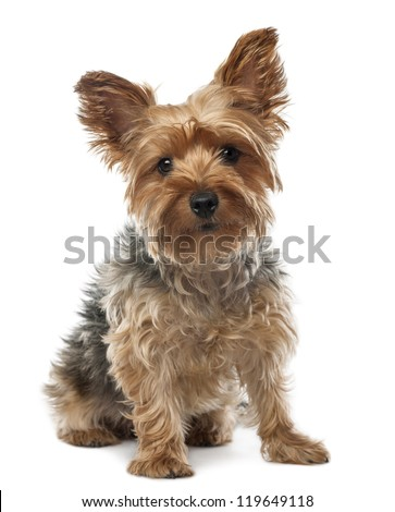 Yorkshire Terrier, 2.5 years old, sitting and looking at camera against white background
