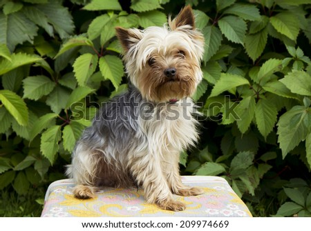 Yorkshire Terrier Yorkshire Terriers are very popular dogs in the world. This is one of the smaller breeds of dogs with very cheerful and sociable temperament.