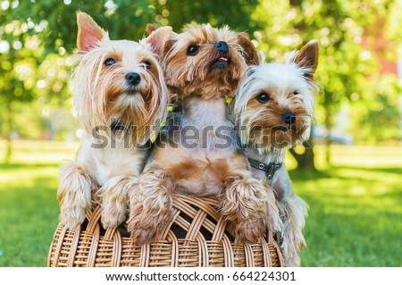 Yorkshire terriers sitting in the basket outdoors #664224301