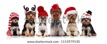 Yorkshire terriers wearing different christmas hats #1153979530