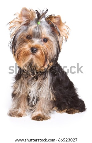 Yorshire terrier puppy isolated on white - stock photo
