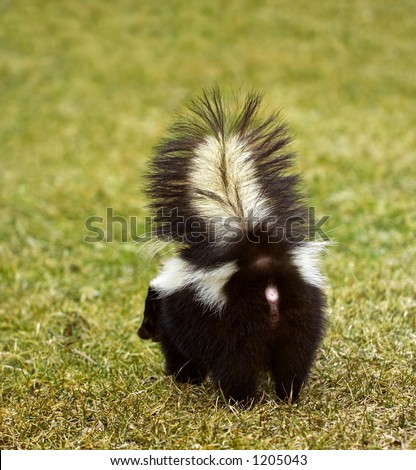 You Don't Wanna Be Here - Striped Skunk (Mephitis mephitis)