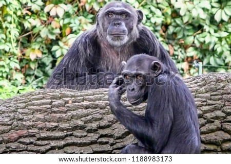 You're a wise man or not?Chimp wise.