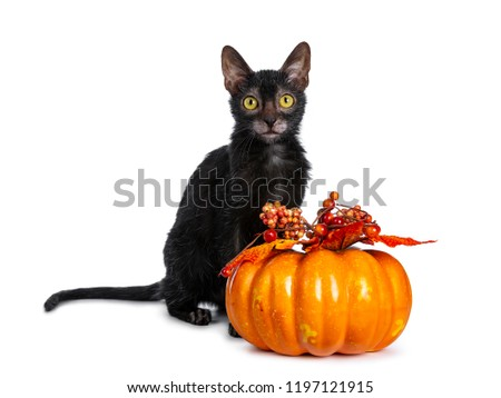 Young adult black Lykoi cat kitten sitting beside an orange pumpkin looking straight in camera with yellow eyes, isolated on white backgroud #1197121915
