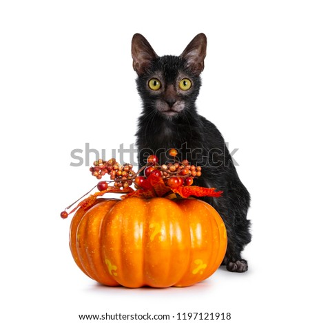 Young adult black Lykoi cat kitten sitting beside an orange pumpkin looking straight in camera with yellow eyes, isolated on white backgroud #1197121918