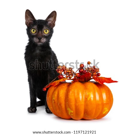 Young adult black Lykoi cat kitten sitting beside an orange pumpkin looking straight in camera with yellow eyes, isolated on white backgroud #1197121921
