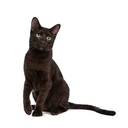 Young adult Havana Brown cat kitten, sitting playful with one paw above ground and looking with green eyed sweet face beside camera. Isolated on a white background.