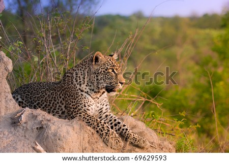 young adult male leopard on a termite mound in Sabi Sand nature reserve, South Africa
