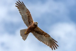 Young adult Western marsh harrier female in flight against the clouds. Hawk, falcons, raptors, birds, Circus aeroginosus