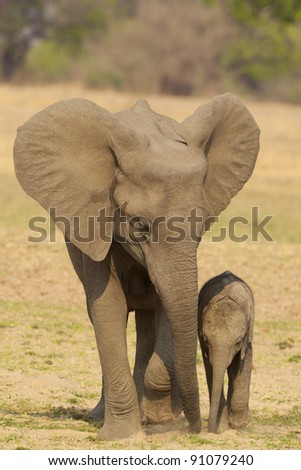 Young Africa elephant with mother