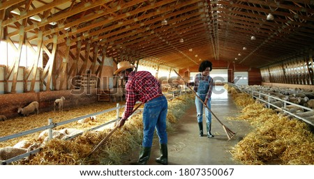 Young African American couple of male and female farmers cleaning hay with forks in livestock stable and talking. Man and woman clean barn for cattle with pitchforks. Two shepherds in shed with sheep.