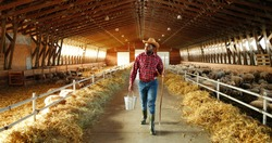 Young African American man farmer walking in stable with flock of sheep and carrying bucket full of water. Handsome male shepherd stepping in barn and holding bin. Feeding cattle. Farming work.