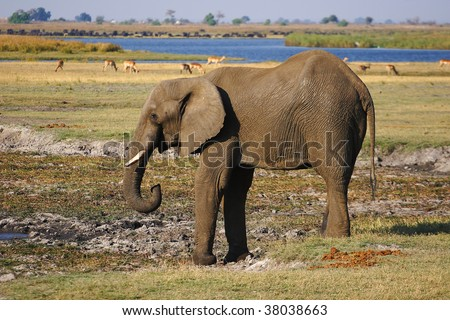 Young African Elephant bull drinking water