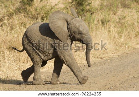 Young African Elephant (Loxodonta africana) running in Kruger Park, South Africa