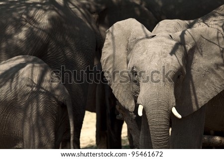 Young African elephant touches his moth