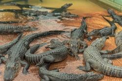 Young Aligators in Everglades Alligator Farm. Florida.