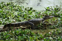 Young alligator in Lake Martin with algae hat