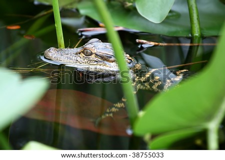 Young alligator swimming in the swamp in Everglades, Florida.